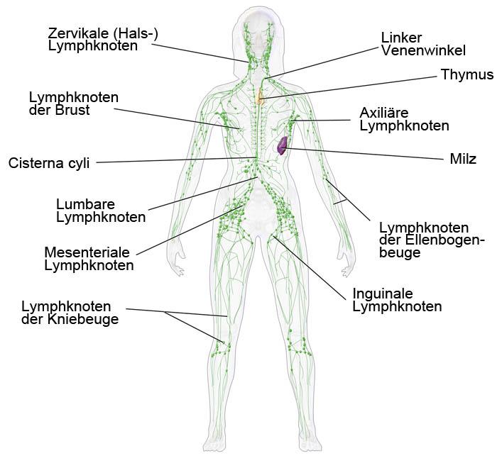 Schema zum Lymphatischen System des menschlichen Körpers